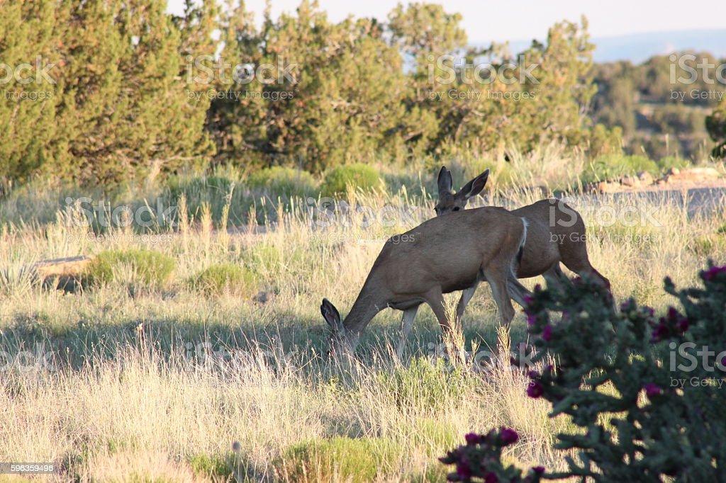 Mule Deer Does royalty-free stock photo