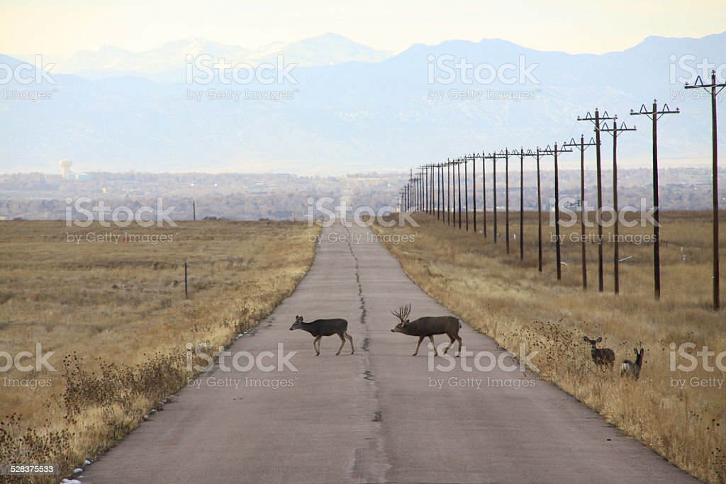 Mule deer family in Rocky Mountain Arsenal National Wildlife Refuge stock photo