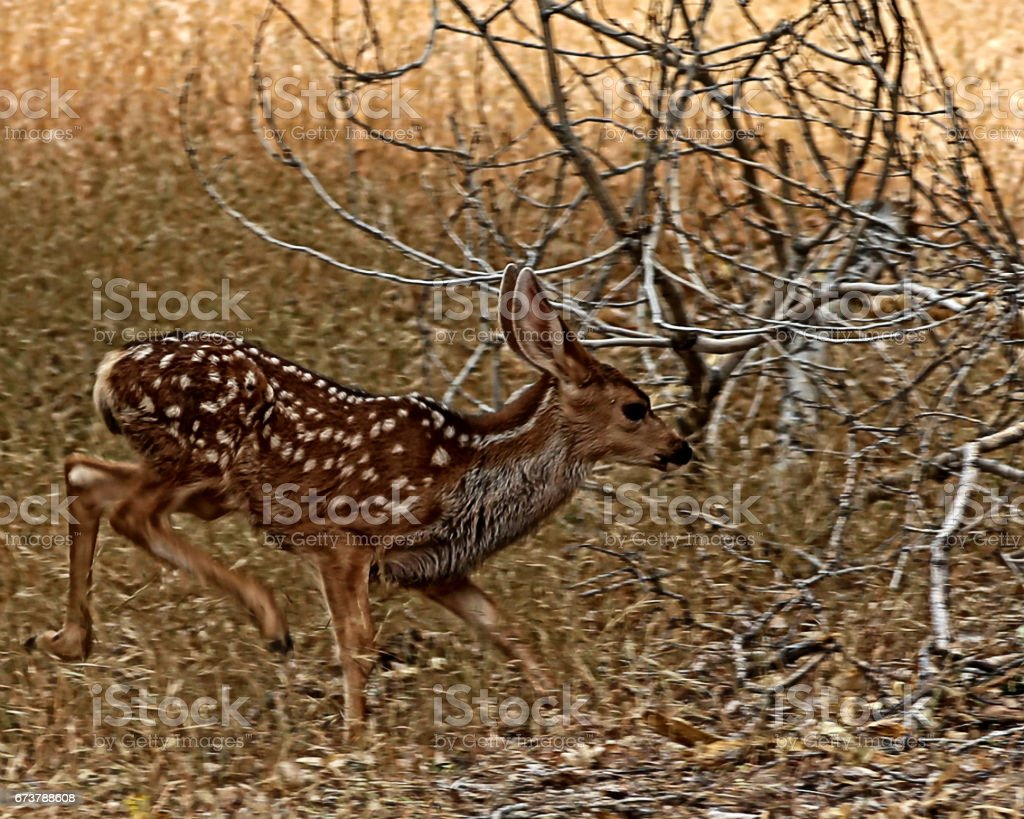 Mule deer fawn running in thick brush royalty-free stock photo