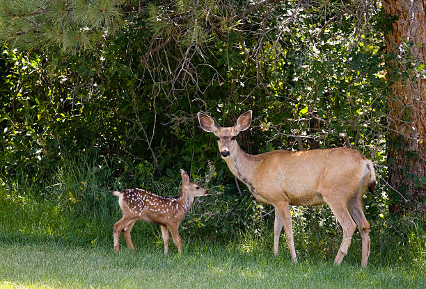 cerf-mulet & fawns - faon photos et images de collection
