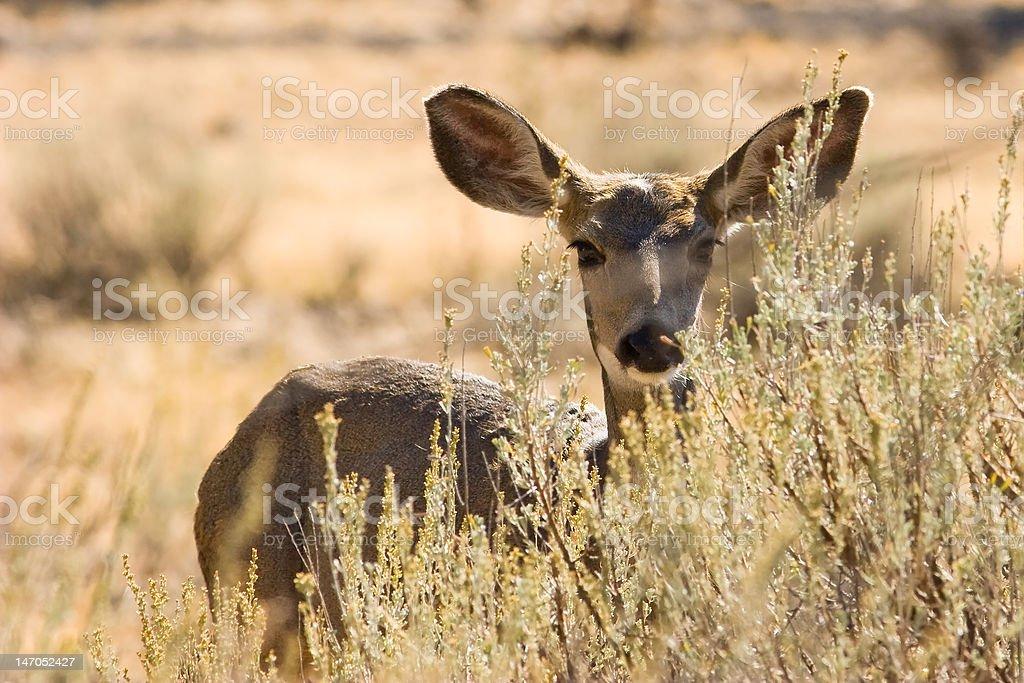 Mule Deer gaze stock photo