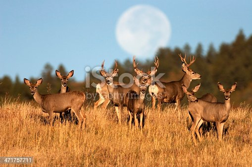 An autumn full moon (not a composite) sets behind a herd of mule deer standing in tall grass in Roxborough State Park, Colorado.