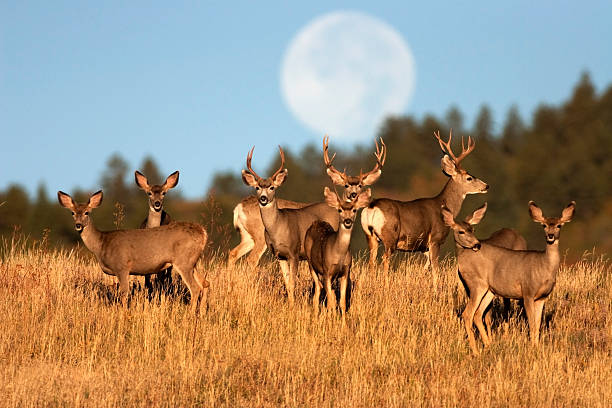 Mule deer herd Roxburough State Park Colorado stock photo