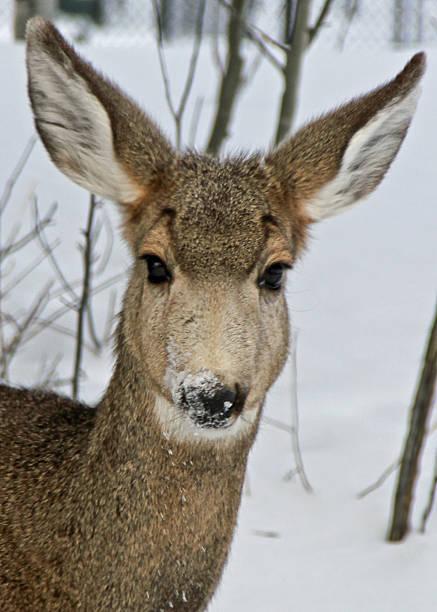 Mule Deer I stock photo