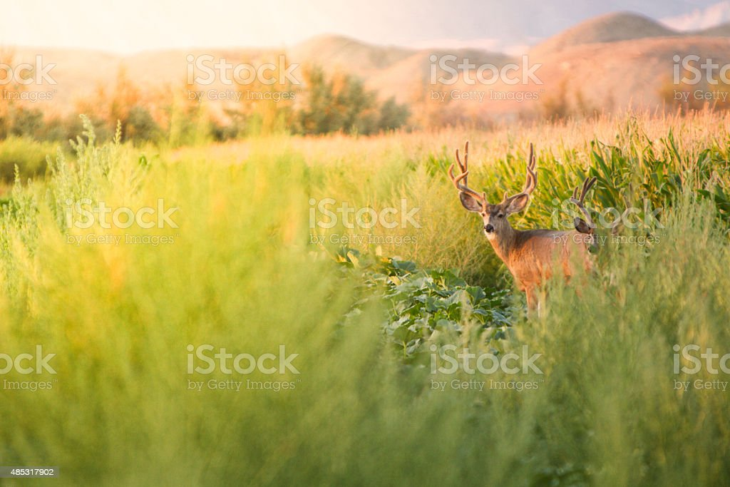 Mule Deer in a Meadow and Corn Field stock photo