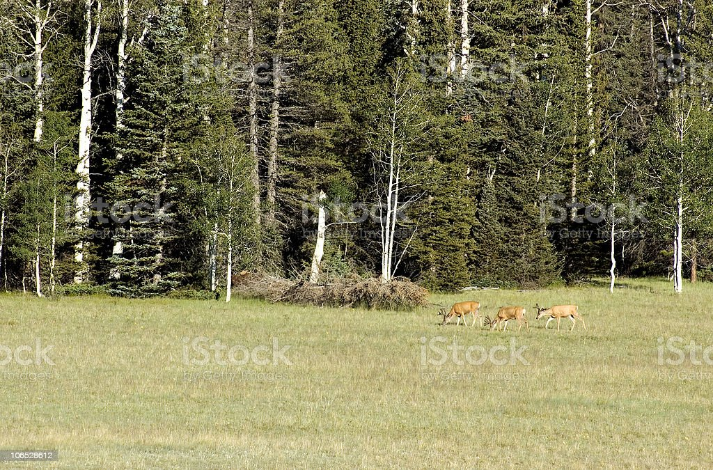 Mule Deer in a Meadow royalty-free stock photo