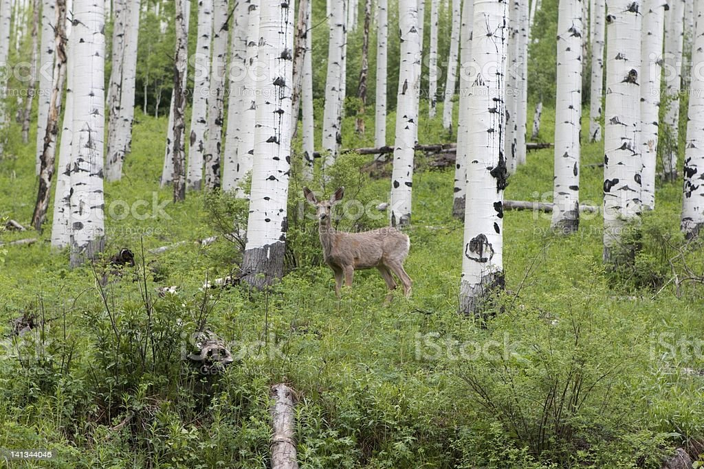 Mule Deer in Aspens Trees stock photo