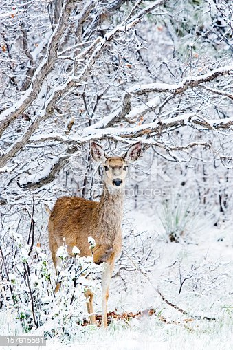 Mule deer does brave a cold Colorado winter snowstorm in the pine forest as snowflakes fall furiously from the winter sky.