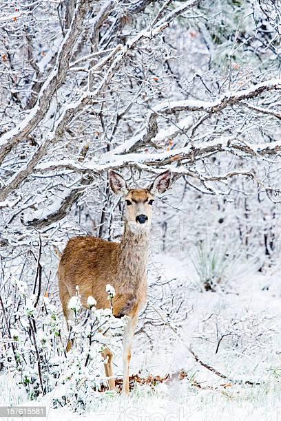 Mule deer in snow picture id157615581?b=1&k=6&m=157615581&s=612x612&h=ri92yghist d uhyngc76segzahxsnpr5hxxeprsr0o=