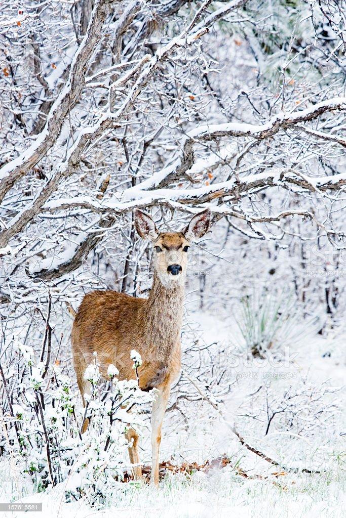 Mule Deer in Snow stock photo