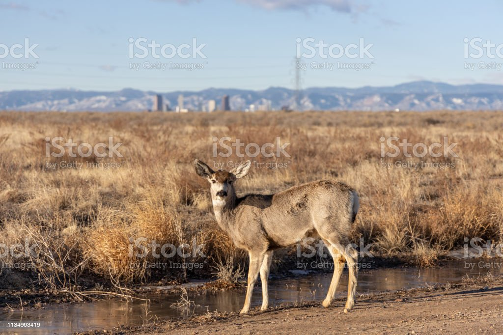 Mule Deer in the Rocky Mountain Arsenal Wildlife Refuge stock photo