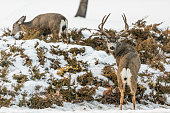 High quality stock photos of a male stag mule deer in the scrub brush.