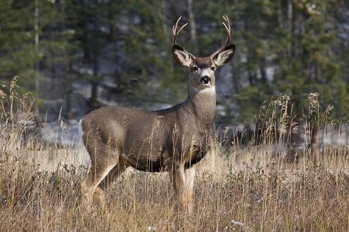 Mule Deer buck taken during rutting season