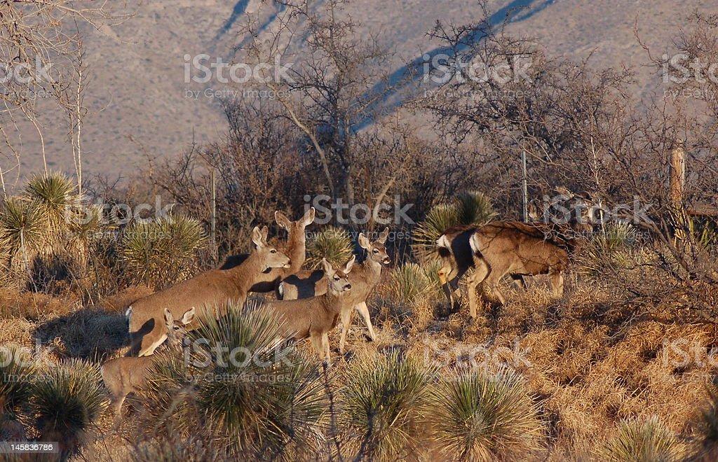 Mule Deer royalty-free stock photo