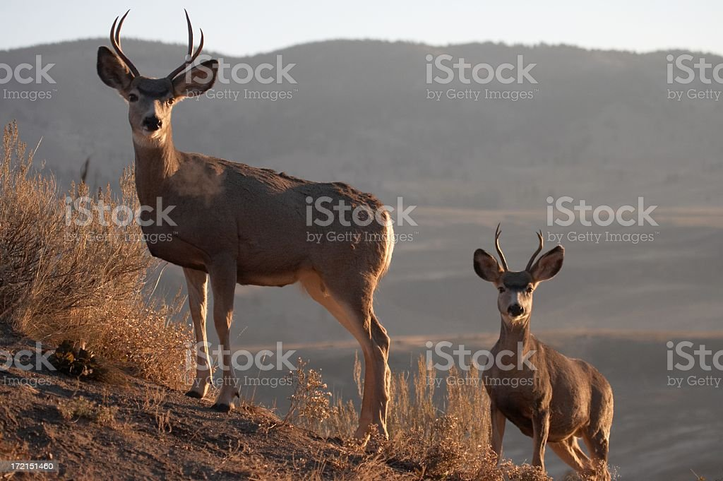 Mule Deer royalty-free stock photo