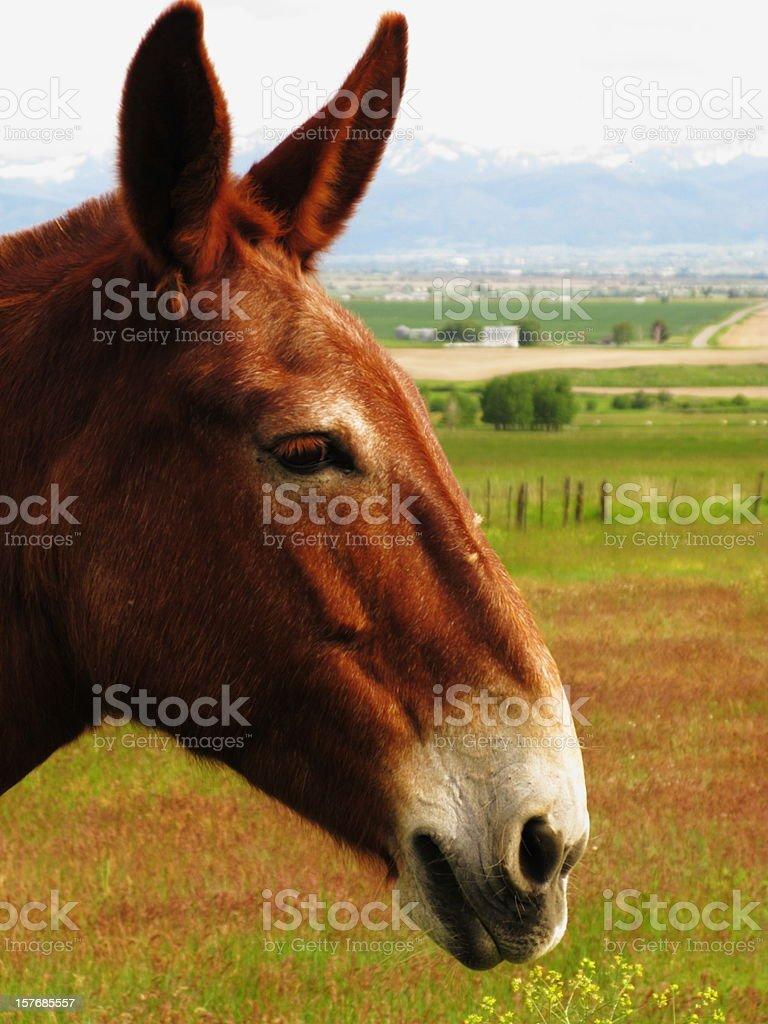 Mule Donkey Horse Profile royalty-free stock photo