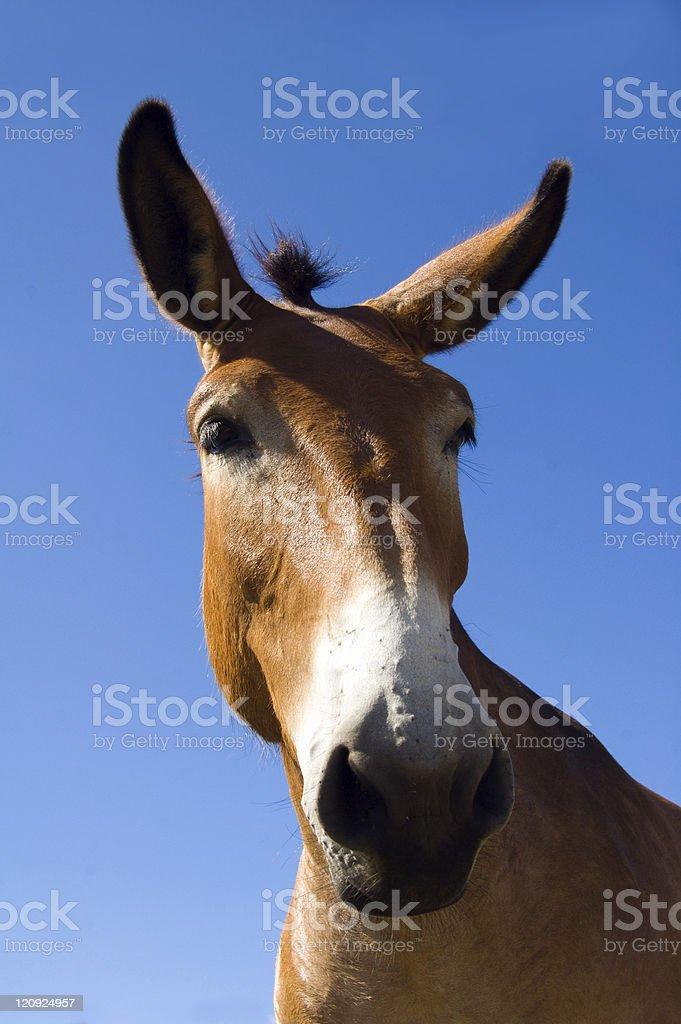 Mule - Full Face View stock photo