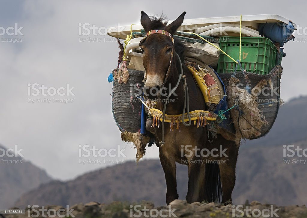 Mule in Northern Africa This photo was taken on a trekking tour in northern Africa. It shows a mule carrying lugga over a mountain pass. African Culture Stock Photo