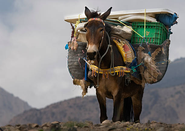 Mule in Northern Africa This photo was taken on a trekking tour in northern Africa. It shows a mule carrying lugga over a mountain pass. mule stock pictures, royalty-free photos & images