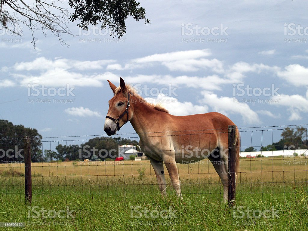 Mule in the pasture royalty-free stock photo
