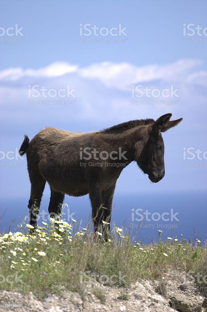 Mule on Hilltop in Santorini royalty-free stock photo