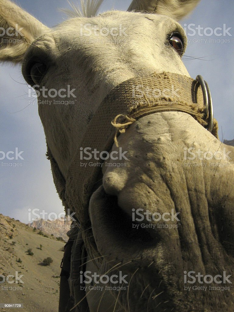 Mule peeking in camera lens royalty-free stock photo