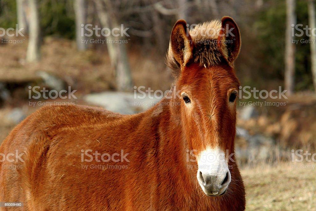 Mule royaltyfri bildbanksbilder