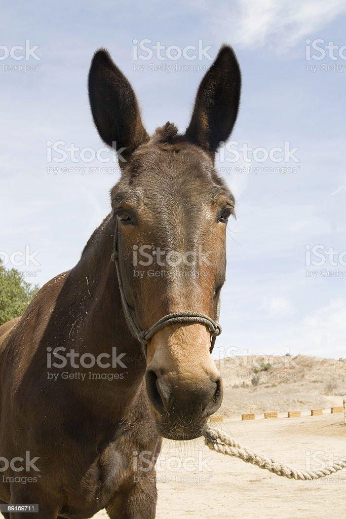 Mule royalty-free stock photo