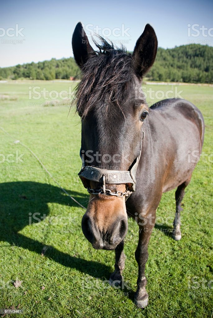 Mule royalty-free stock photo