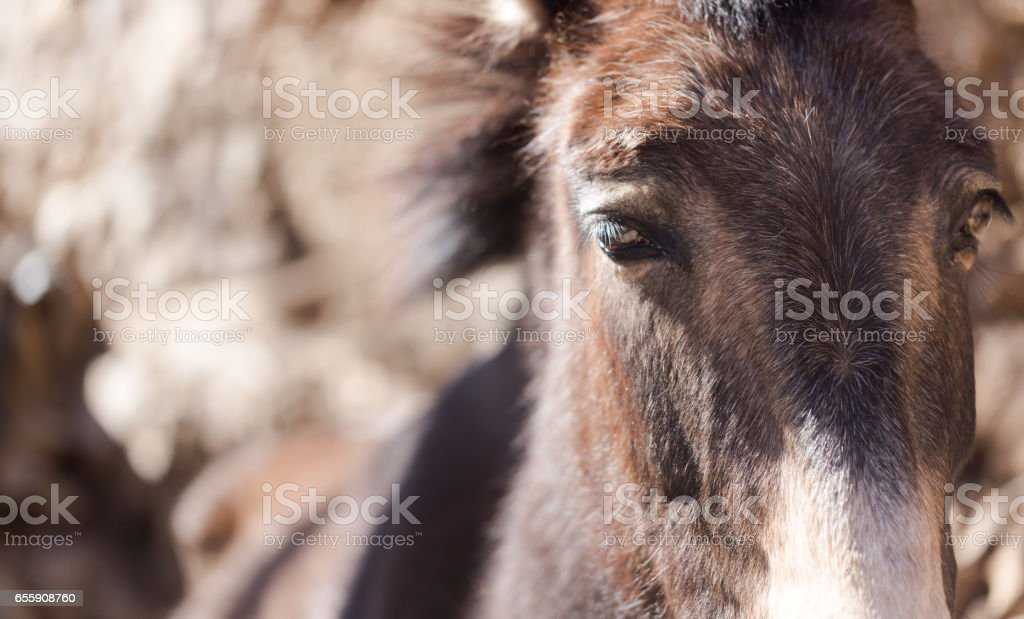 Mule portrait stock photo