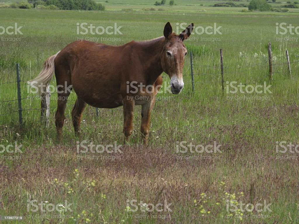 Mule Pregnant Donkey Horse Spring royalty-free stock photo