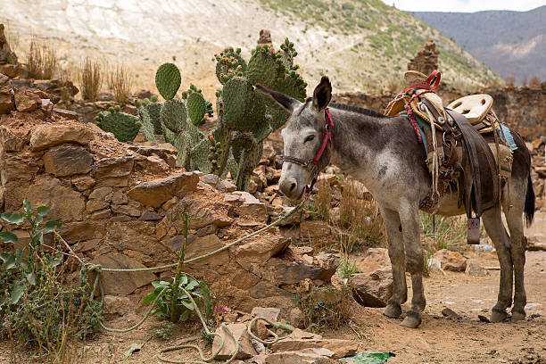 mule ready for a ride mule with saddle tied with  rope in abandoned town of Real de Catorce real de catorce stock pictures, royalty-free photos & images