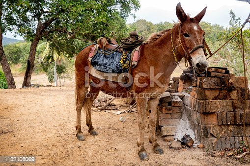 A burro Ready and waiting for a worker to ride to the plantation to harvest the coffee cherries
