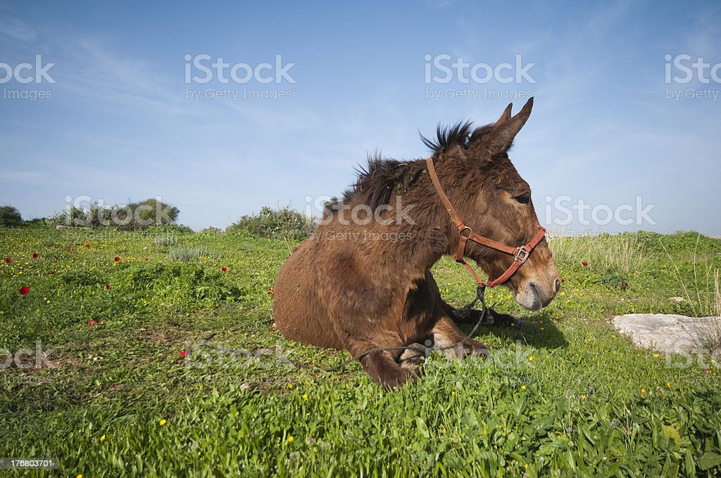 Mule sitting at the field royalty-free stock photo