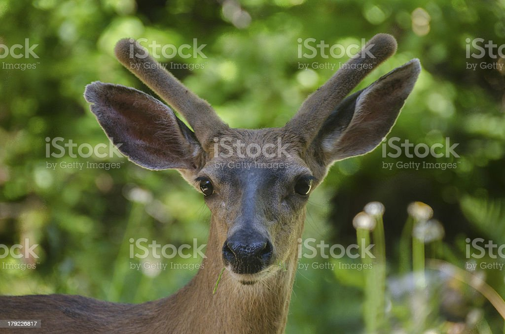 MuleDeer royalty-free stock photo