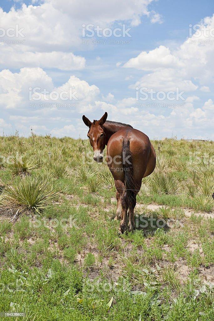 Mule/Donkey looking back royalty-free stock photo