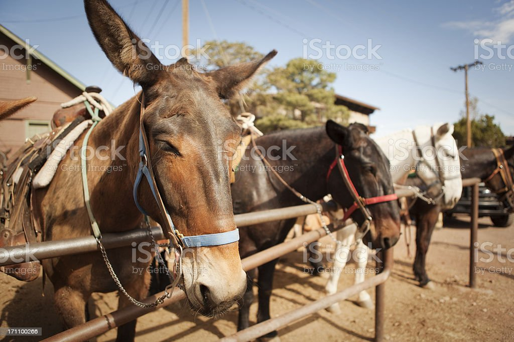 Mules for Rides at the Grand Canyon National Park royalty-free stock photo