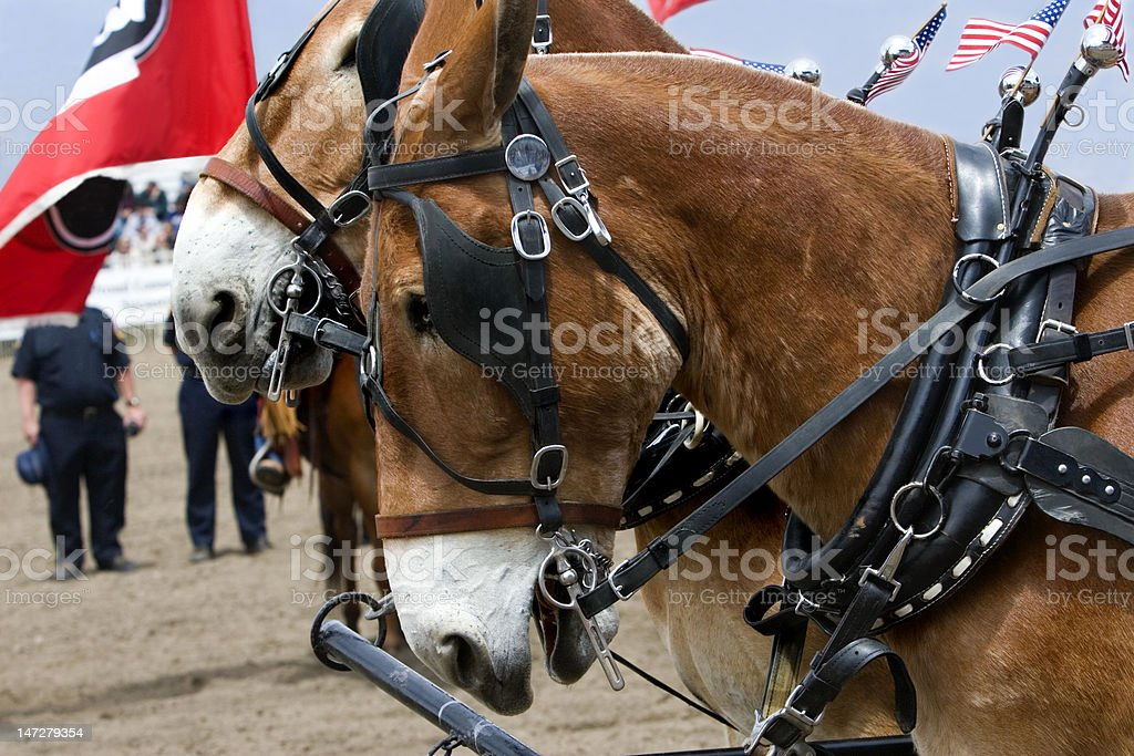 Mules in Harness royalty-free stock photo