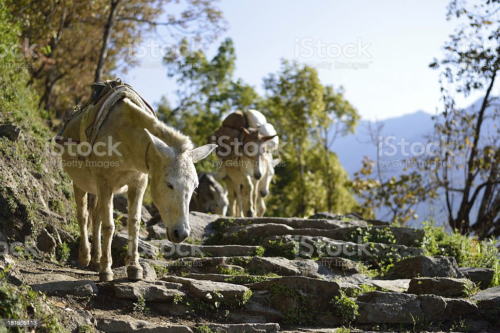 mules in the Himalaya royalty-free stock photo