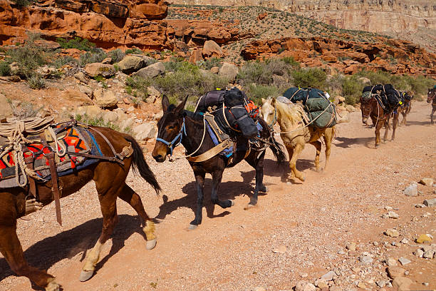 Mules on Grand Canyon trail stock photo