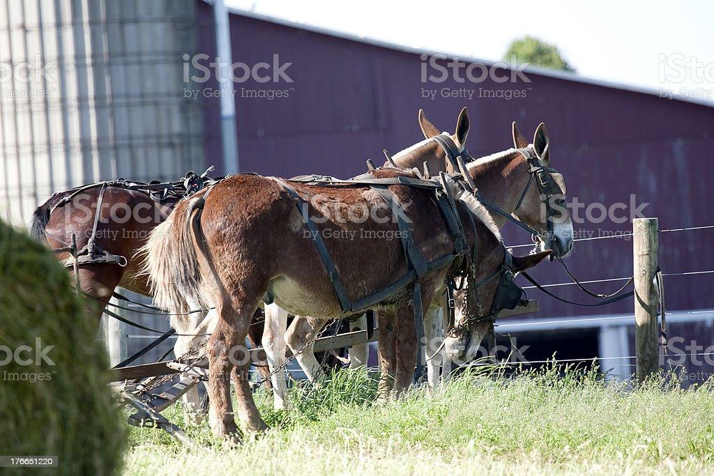 Mules foto de stock libre de derechos