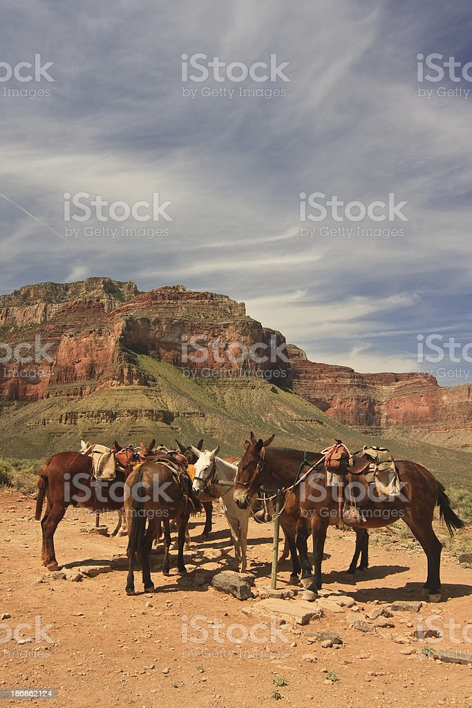 Mules resting in the Grand Canyon 3 royalty-free stock photo