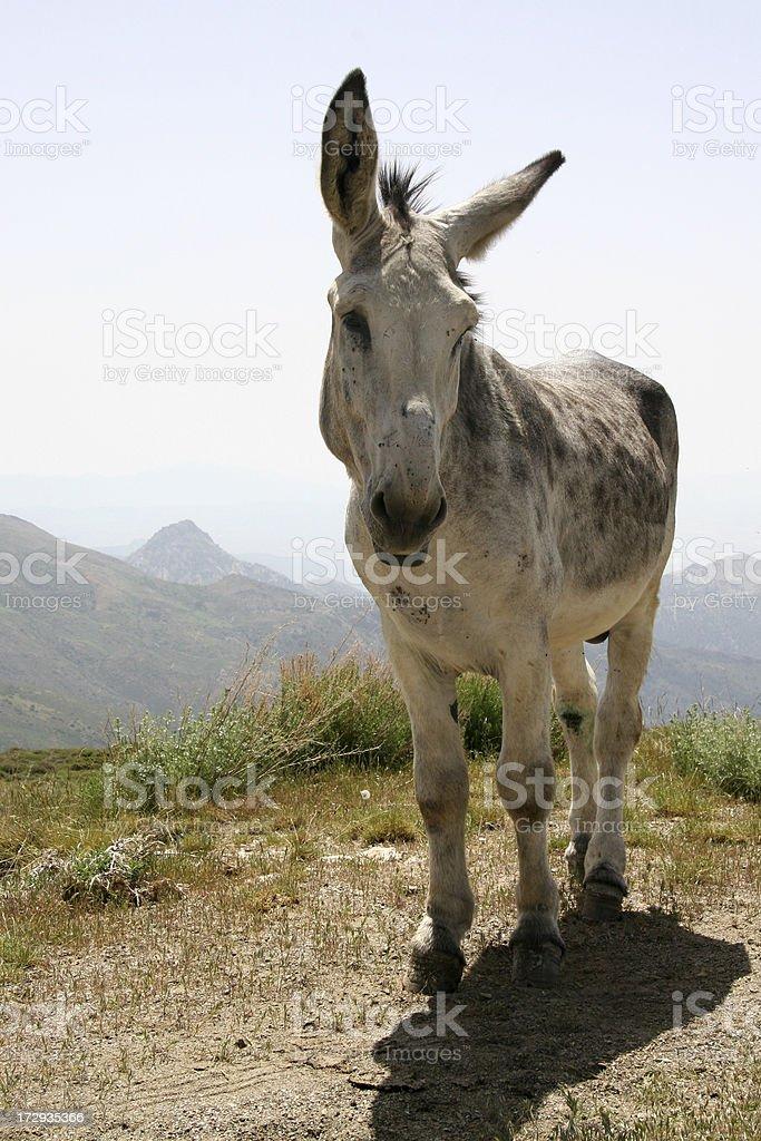 Muli royalty-free stock photo