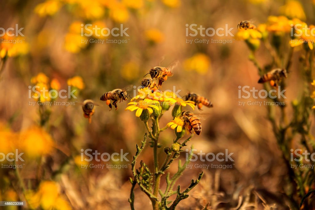 Muliple bees collecting nectar stock photo