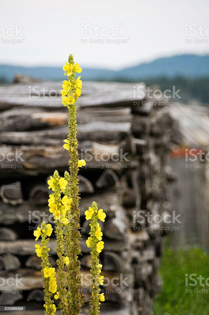 Mullein before woodpile stock photo