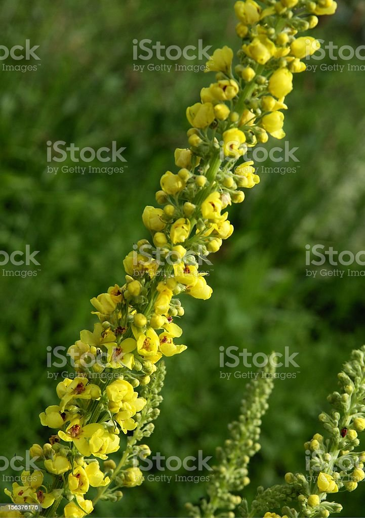 mullein herb in blossom royalty-free stock photo