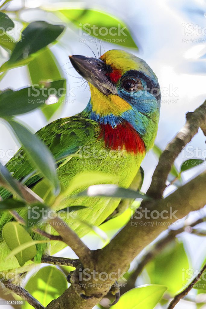 Muller's Barbet close up stock photo