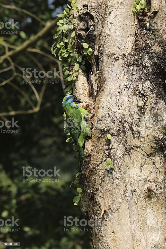 Muller's Barbet is biting wood chips stock photo