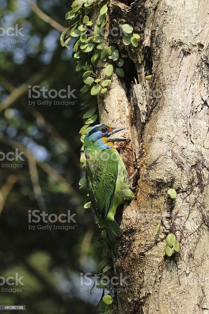 Muller's Barbet is nesting - Megalaima oorti stock photo