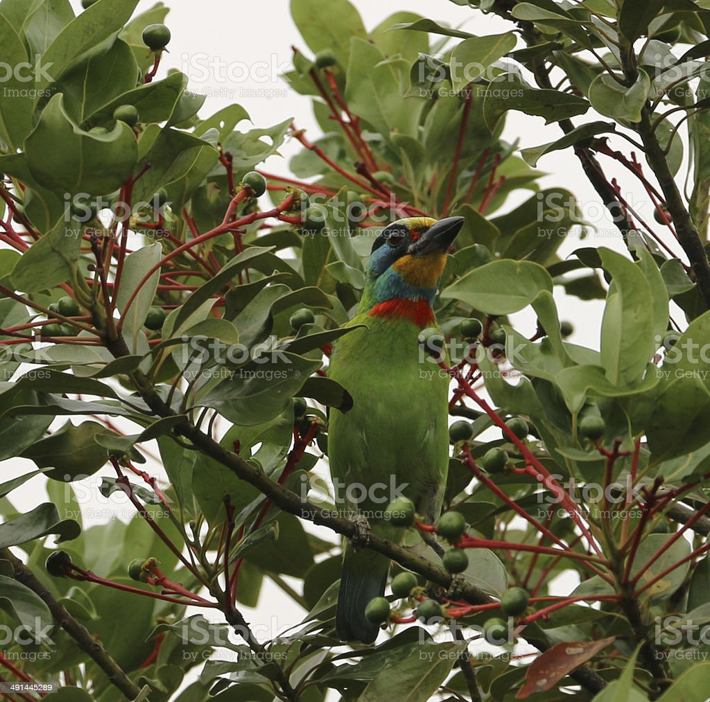 Muller's Barbet perch on the tree branch stock photo